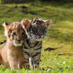 Post with 12566 views. Cute Lion and Tiger Cubs Baby Animals Super Cute, Cute Little Animals, Cute Funny Animals, Cute Cats, Baby Animals Pictures, Cute Animal Pictures, Animals And Pets, Wild Animals, Baby Tigers