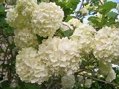 Snowballs - my second favorite flower