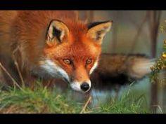 Roald Dahl, Fantastic Mr Fox, free audio book read by Nick Martin - Giuliana American Red Fox, Fox Background, Fantastic Mr Fox, Fox Face, Foxes Photography, Pet Fox, Roald Dahl, Halloween Disfraces, Animal Wallpaper