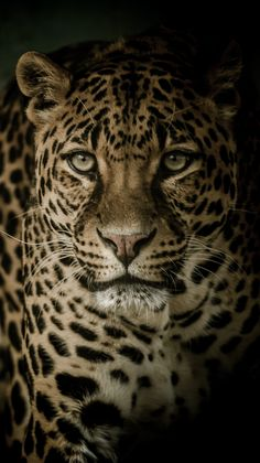 Leopard #Animals #Wild #Nature