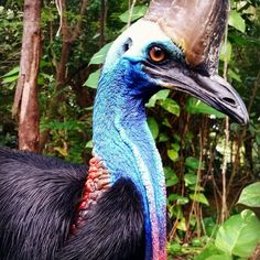 Ranger Cameron from our Environment Team provided this Cassowary close up to us today. Cassowaries play a very important role with seed dispersal in the rainforest. #cassowary #skyrail #rainforest #cairns #exploretnq #thisisqueensland #seeaustralia #joinus