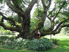 170 year old cherry tree in Eugene, Oregon
