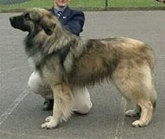 NZKC - Breed Standard - ESTRELA MOUNTAIN DOG (Cão da Serra da Estrela) - Hound