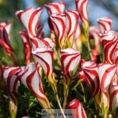 Šťavel dvoubarevný - Oxalis versicolor - prodej hlíz - 1 Ks