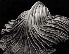Cabbage Leaf - Edward Weston