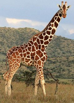 Giraffes are a group of mammals that originate from Africa and are the tallest living terrestrial mammal in the entire world. The Giraffe is famous for its long neck which helps the giraffe stand 5-6 meters tall from head to toe. You might be...