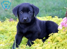 This Black Lab puppy is as precious as they get! This puppy hopes to be running around playing in Black Puppy, Black Lab Puppies, Corgi Puppies, Black Labs, Black Labrador, Equine Photography, Animal Photography, Golden Puppy, Cute Kawaii Drawings