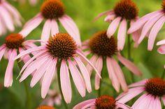 FLOR DE CONE=As melhores flores perenes para o seu jardim | O Meu Jardim