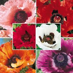 Beautiful Color.  Oriental Poppy so easy to grow. Offered by Springhill, send for your Free catalog.