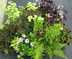 Shady container: 2 coleus, lime licorice, purple oxalis, white petunia, fern