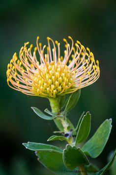"""""""Protea Highlight"""" by Denise Dewire Unusual Flowers, Wonderful Flowers, Rare Flowers, Wild Flowers, Australian Wildflowers, Australian Native Flowers, Australian Plants, Australian Native Garden, Protea Flower"""