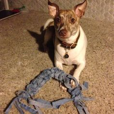 Up cycled denim jeans into homemade dog toy! Cut into strips long ways and braid however you like. My dog Jax loves these and they are very durable so they are good for average to aggressive chewers. They can also be soaked in water or chicken broth and frozen to make a fun chew toy for sunny days outside!