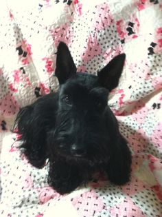 fb21c416b52 Pet or Baby Quilt BlanketScottie Dog Pink Black and by lynndalou