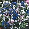 Mixed Lungwort