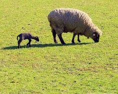 Lamm mit Muttertier
