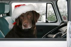 :-) chocolate labrador for christmas in a turquoise vw bus, pretty darn good if you can get it