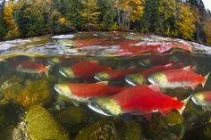 Sockeye Salmon swim up the Adams River in British Columbia, Canada to spawn. Salmon Run, Sockeye Salmon, Fish Farming, Life Aquatic, Photography Competitions, Fish Art, Underwater Photography, Ocean Life, Marine Life