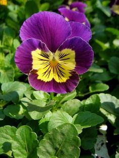 Viola - Viola cornuta.  These popular bedding plants come in a staggering range of bright or pastel shades; including pink, blue, yellow, gold, orange, purple, violet, red, russet, white and even black. They are available in clear single shades as well as bi-colours. Many are painted with black blotches around a yellow eye, with lines radiating from the centre, like cat's whiskers. The flowers range in size from small to enormous, with petals that are soft and velvety.