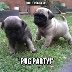 """""""Who's ready to #Pug party?""""  www.jointhepugs.com/  #pugpower #pugsnotdrugs #puglife #puglove #cuteness #pugs #puglover #dogs #animals"""