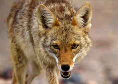Coyote : Discovery Channel