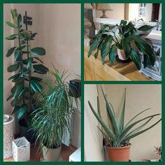 #instagramele #recomendar  Los expertos recomiendan hablar a las plantas para que sean felices. Yo creo que nuestras plantas están muy contentas  #ceajuly17 #plantas #ficus #spathiphyllum #aloevera