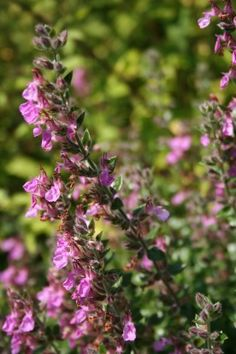 Teucrium x lucidrys - Gamander - De Tuinen van Appeltern