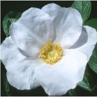 White Rugosa Rose | Buy online at Nature Hills Nursery