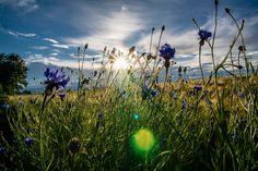 Kornblumen im Abendlicht - Cornflowers at sunset
