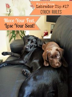 Practical #Labrador Tips: Couch Rules | #ItsaLabThing