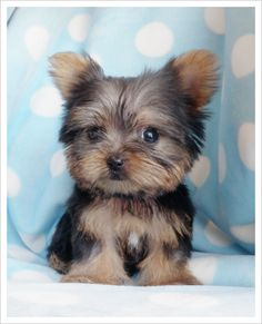 Cute small dogs that stay small for sale dog pinterest for Tiny puppies that stay tiny for sale