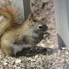 Red Squirrel - Gutsy little guy!  He'll take on 2-3 gray squirrels at one time....& win!     (04.17.15)