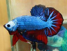 A wow Beta fish  http://wrp.myshaklee.com/us/en/join.html#/goldplus