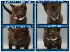 *** TO BE DESTROYED 06/17/16 *** DANGER, WILL ROBINSON!! FOUR KITTENS IN NEED OF RESCUE.....At the ACC, these four OUT OF THIS WORLD KITTENS are indeed LOST IN SPACE!! Several of the kittens need immediate medical attention to their eyes and in addition they are underweight!! Only 6 weeks old, GALAXY, ASTERIOD, IO and COSMOS need a FOSTER stat! If you can help these little black beauties please contact a NEW HOPE rescue tonight!! FOSTERS need to be within an hour radius of a NEW HOPE…