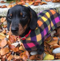 Our PUPPY FRIEND SIZZLE modelling his 'My First Coat'. What a little handsome boy! The coat is specially designed for Dachshund puppies and come in LOADS OF PATTENS! Order today http://www.simplyspiffingdachshunds.co.uk/product-category/harness-leads-sets/