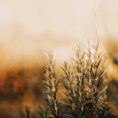 🍃 Le romarin  Une plante qui fleurebon l'été et le sud 😀  Au delàde son côté agréable pour parfumer les plats, le romarin a bien des vertus pour s'inviter à la table de notre équilibre en santé.  ✳️ il favorise la digestion grâce à son action cholagogue (aide à l'évacuation de la bile), il régule aussi les lipides avec la choline qu'il contient.  ✳️ il est anti-spasmodique, utile quand on est sujet aux crampes digestives douloureuses  ✳️ il est diurétique et améliore la…