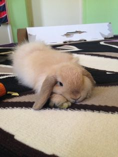 peachshamusandspencer: One of my favourite Peach pictures :) Cute Baby Bunnies, Funny Bunnies, Cute Babies, Cute Creatures, Beautiful Creatures, Animals Beautiful, Mini Lop, Bunny Care, Fluffy Bunny