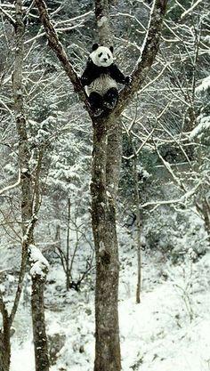 panda in a tree. I love images like this, I hope Pandas are around for the long haul Beautiful Creatures, Animals Beautiful, Photo Panda, Animals And Pets, Cute Animals, Wild Animals, Baby Animals, Baby Pandas, Red Pandas