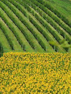 Sonnenblumenfelder so weit das Auge reicht #sunflower #weinviertel #wein4tel Vineyard, Outdoor, Sun Rays, Eye, Landscape, Summer, Outdoors, Vine Yard, Vineyard Vines