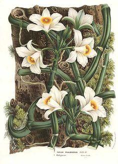 Antique print: picture of The Vanilla Orchid - Vanilla phalaenopsis - Madagascar
