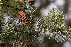 Jack Pine Frosted by Karin Frisque on Capture Wisconsin // After a moist day followed by sinking temperatures at night, trees and bushes were  coated white with frost the next morning.  For a better viewing, please click on the pic.