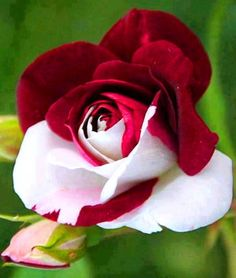 White and Red Rose via Lovely Roses Facebook page