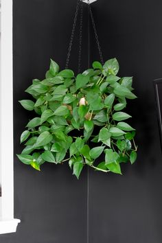 Learn how to care for pothos plants. Golden pothos plant care is easy, and pothos plants are some of the easiest houseplants to keep alive. Pothos Plant Care, Golden Pothos Plant, Ivy Plant Indoor, Best Indoor Hanging Plants, Indoor Hanging Baskets, Variegated Plants, House Plant Care, Snake Plant, Water Plants