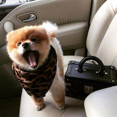 Image uploaded by Evelyn. Find images and videos about cute, pretty and adorable on We Heart It - the app to get lost in what you love. Cute Baby Dogs, Cute Dogs And Puppies, Cute Baby Animals, Doggies, Spitz Pomeranian, Pomeranians, Jiff Pom, Dog Washing Station, Dog Accesories