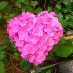 A csoda szép hortenzia három titka | Balkonada Flowers, Plants, Scrapbooking, Gardens, Beautiful Flowers, Kunst, Plant, Scrapbooks, Royal Icing Flowers