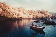 Boats parking on water with pink trees surrounded