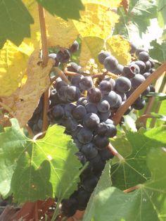 Grappolo d'uva.