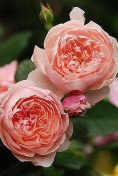 Love Rose, Pretty Flowers, Purple Flowers, Beautiful Roses, Beautiful Gardens, David Austin Rosen, Rose Foto, Ronsard Rose, Colorful Roses
