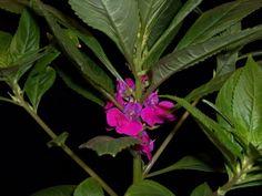 Impatiens balsamina, Garden Balsam