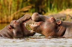 Beautiful Hippos  Photographer: Enrique del Campo