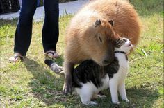 capybara hugs cat